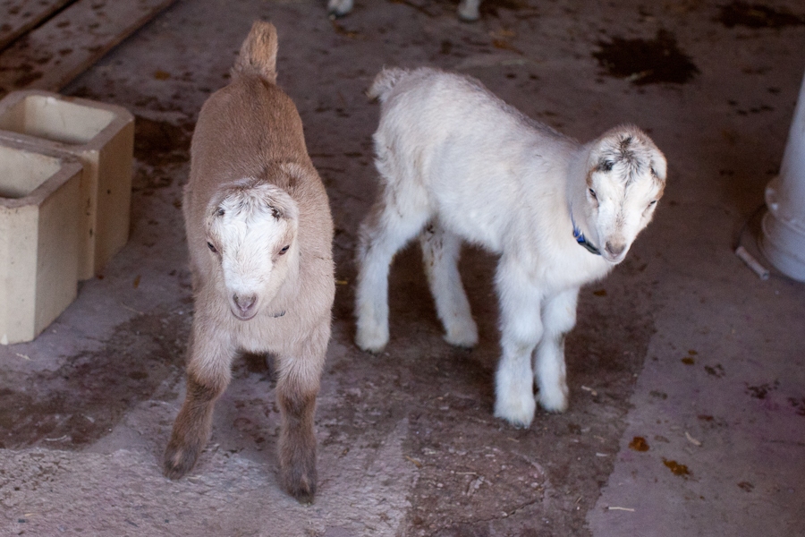 goats day1-1