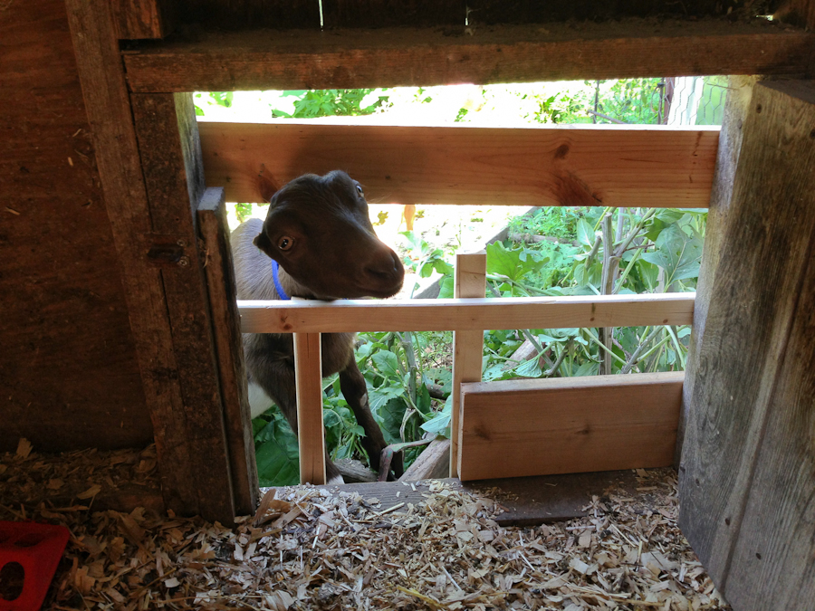 goats in coop-3